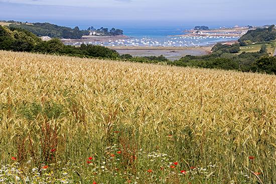 Reifes Korn, im Hintergrund das Meer