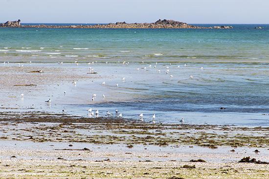 Seevögel suchen im Schlick nach Nahrung